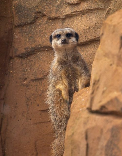 an interested meerkat.