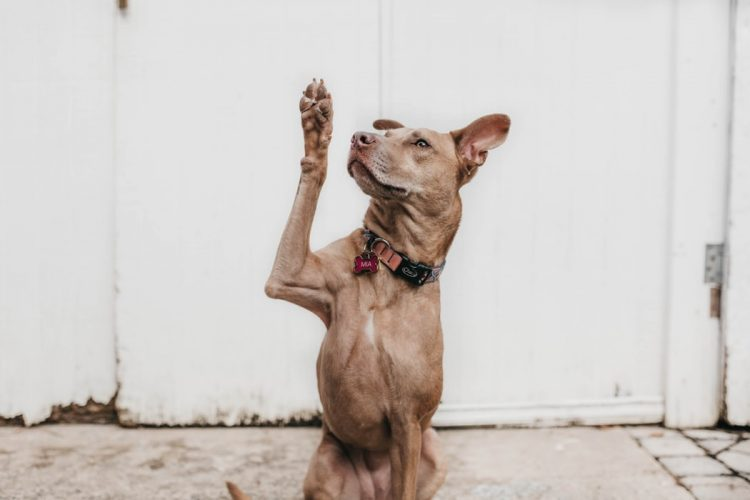 A dog holding its paw up.